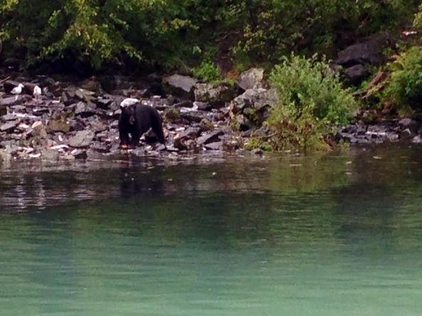 bear eating salmon