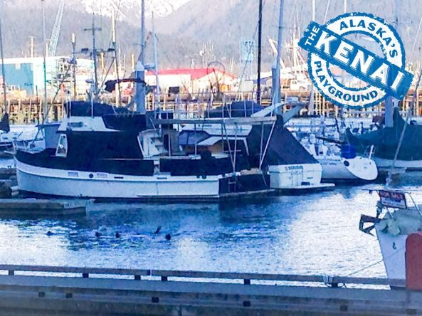 harbor seal group Chinooks Restaurant Seward Alaska