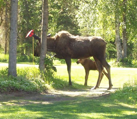 Mama Moose & Baby Moose Snacking on the trail. Photo at the Kenai Golf Course in Kenai, AK