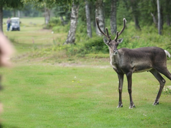 Up Close & Personal with a young caribou. Photo at the Kenai Golf Course.