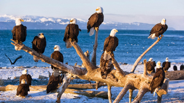 Bald eagles in Homer, Alaska from freenaturepictures.blogspot.com.