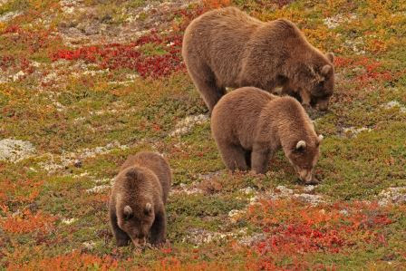 Photo of brown bears searching for berries.