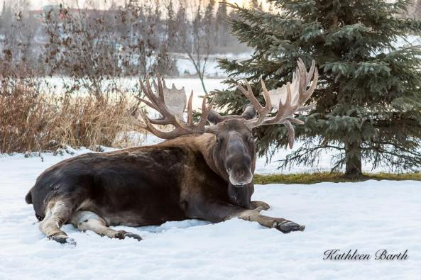 Resting Bull Moose. Photo from Kathleen Barth Photography.