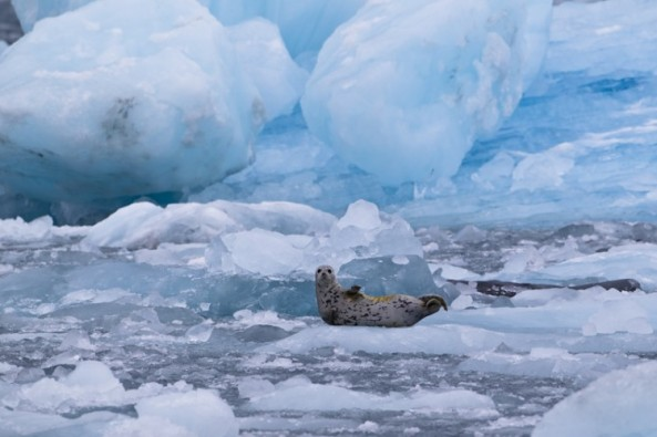 Harbor Seal on Columbia Glacier. Photo from www.ervinskalameraphotos.com.