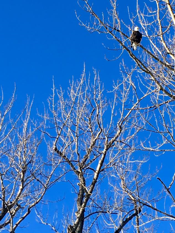 Beautiful bald eagle perched along the Kenai River.